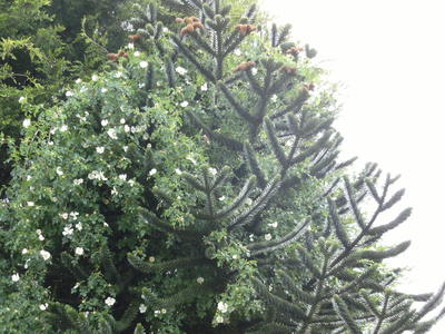 Wild_rose_growing_through_monkey_puzzle_tree