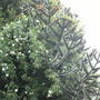 Wild_rose_growing_through_monkey_puzzle_tree