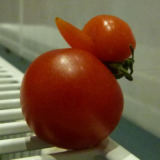 Duck_tomato_5c