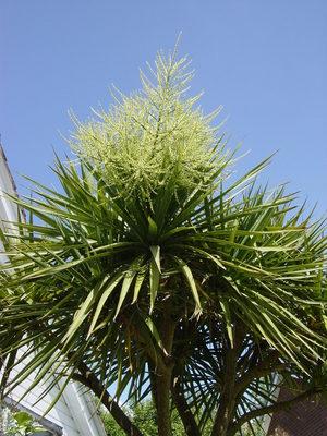 Palm_tree_005