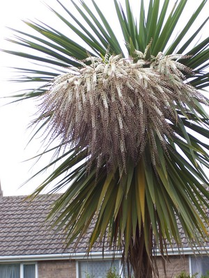 My Cordyline Has Flowered For First Time What Do I Do When Flower Is Finish Grows On You