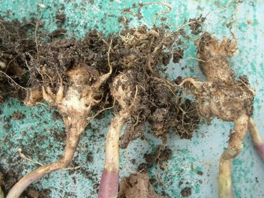Clubroot2