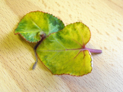 Why are my cyclamen leafs turning yellow falling off grows on you 018 020 mightylinksfo
