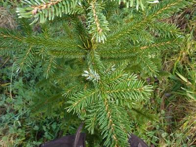 Pinus_2