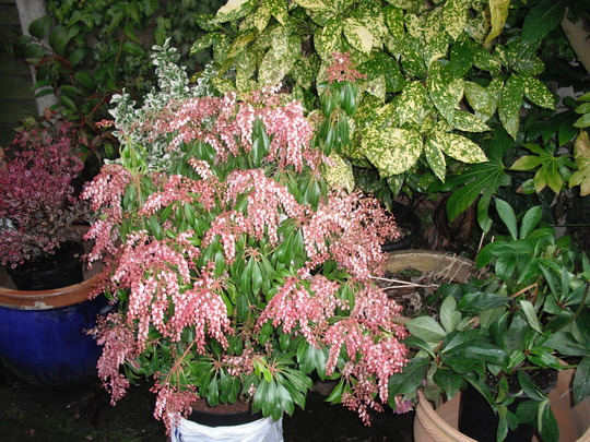 I Bought A Pieris Japonica Pink Delight Yesterday And The