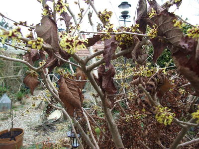 Hamamelis_-_witch_hazel