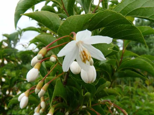 Antreeflower