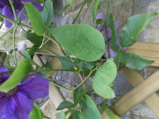 Semu_healthy_leaves
