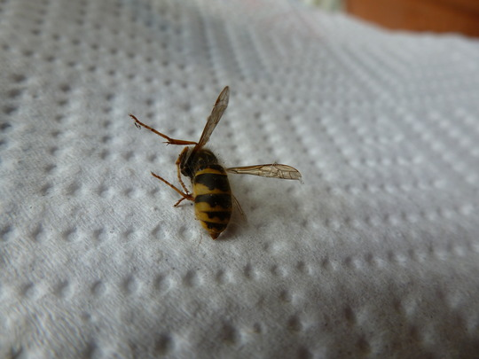 Bee_wasp_identification_002