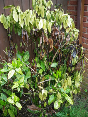 This Laurel Dying Grows You