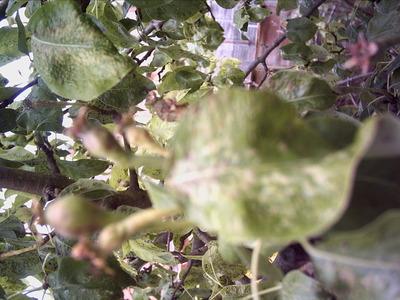 Pear_tree_002