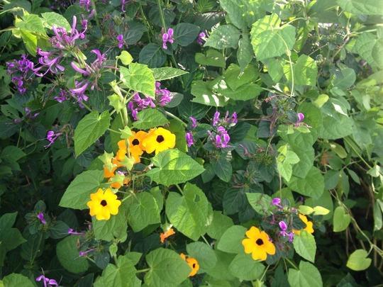 Purple_shrub_with_black_eyed_susan