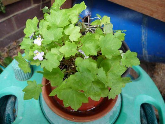 Brownies_plant
