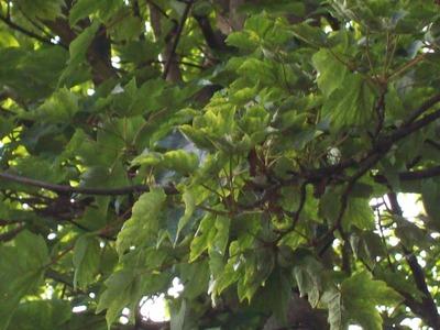 Ill_sycamore_tree_002