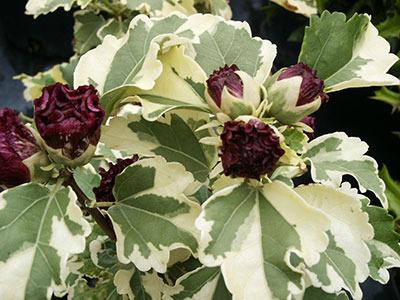 Hibiscus_syriacus_purpureu