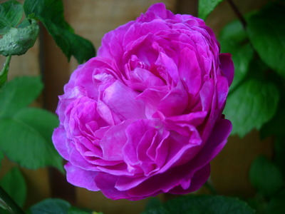 Unknown_climb_or_rambling_rose