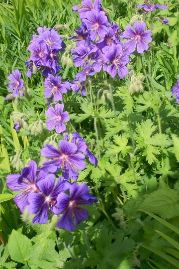 Geranium_in_ediths_area