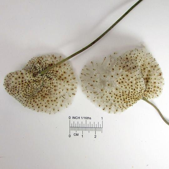 Giant_japanese_anemone_ripe_seed_heads
