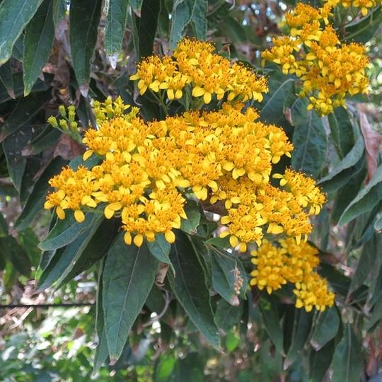Jellow_shrub_flowers