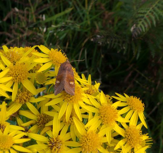 A_moth