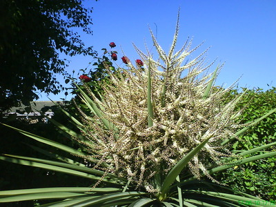 Cabbage_palm_in_flower_1