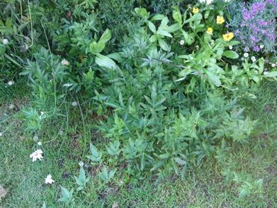 Solanum_1