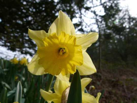 Narcissus_090417_1200_2_