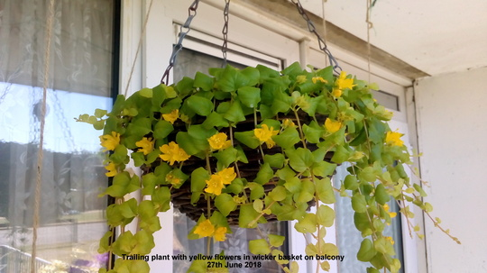 Trailing_plant_with_yellow_flowers_in_wicker_basket_on_balcony_27th_june_2018