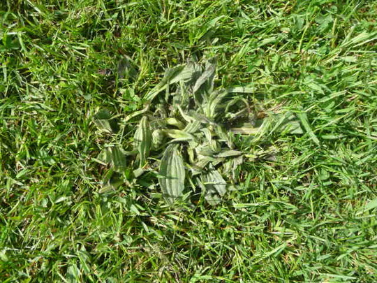 Lawn_weed_2_