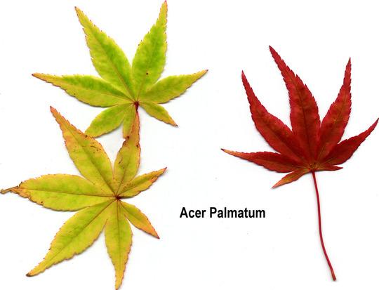 Acer_leaves