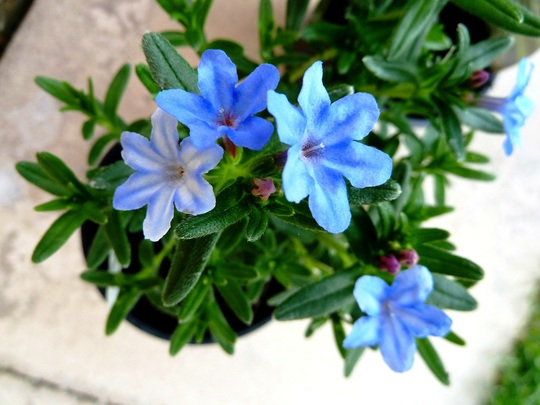 P1010188_lithodora._apr.2011