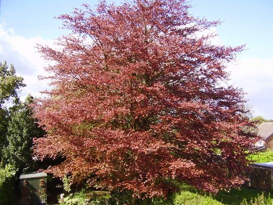 Tree Seeds 002 Copper Beech