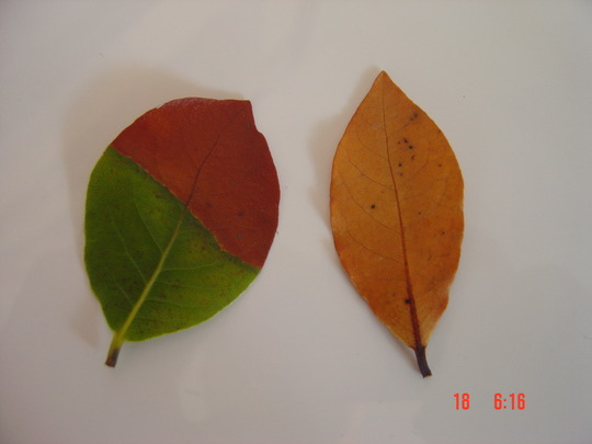 Bay_tree_leaves