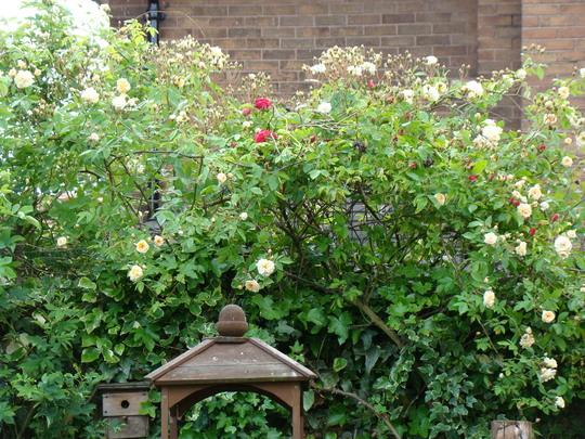 Roses_back_garden