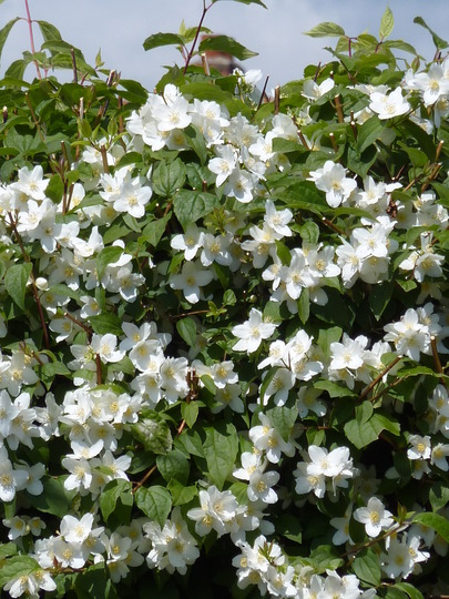 White flower bush identification for White flowering bush