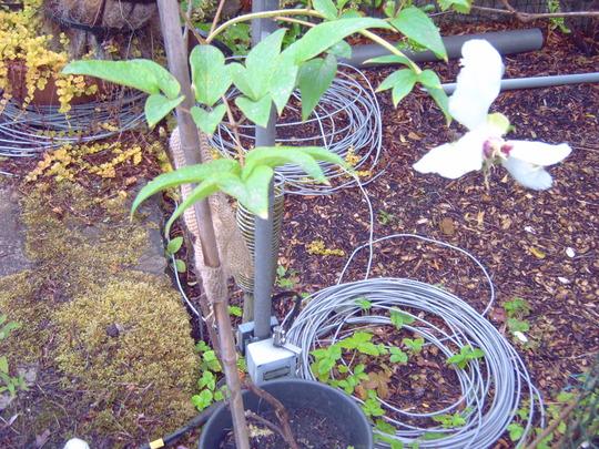 Tree_paeony_leaves