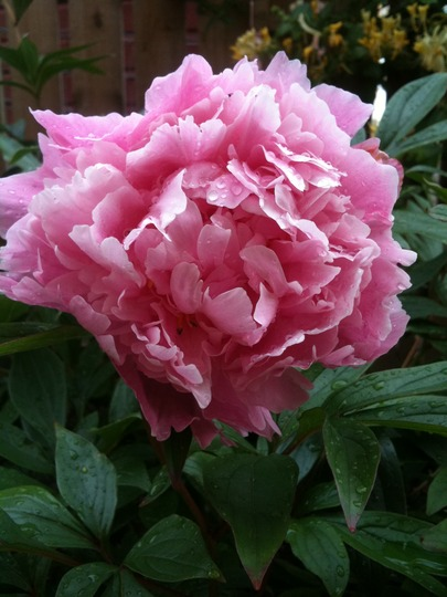 Pink_peony_in_side_garden_2