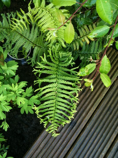 Fern_under_willow