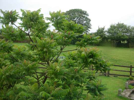 Cornwall_tree_2