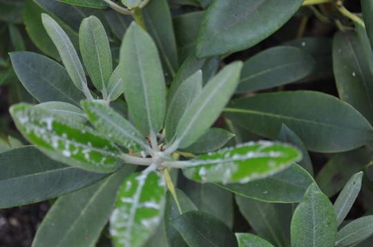 Rhodadendron_dus1436rhodeadendrondus