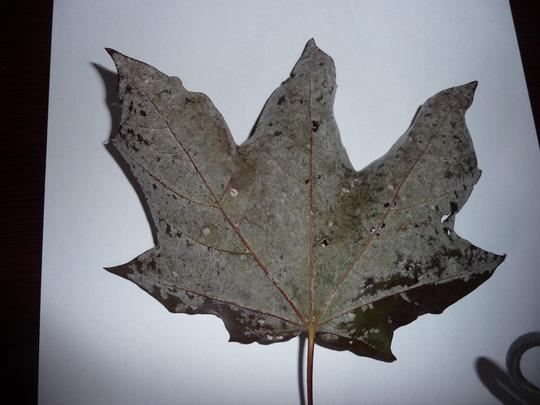Under_side_of_infected_leaf