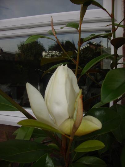 Magnolia_grandiflora_012