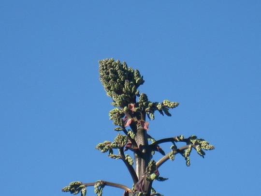 Yucca_002