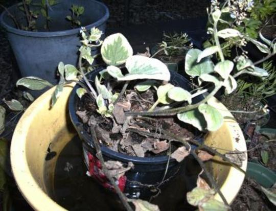 Brunnera_macrophylla_2_4_5_11