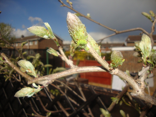 Wisteria_buds_12th_april_2012_002