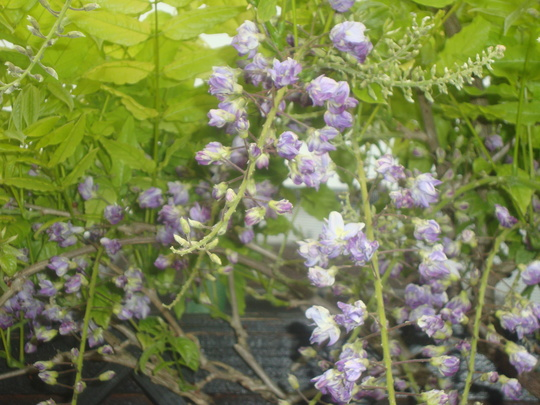 Wisteria_in_flower_may_18th_2012_003