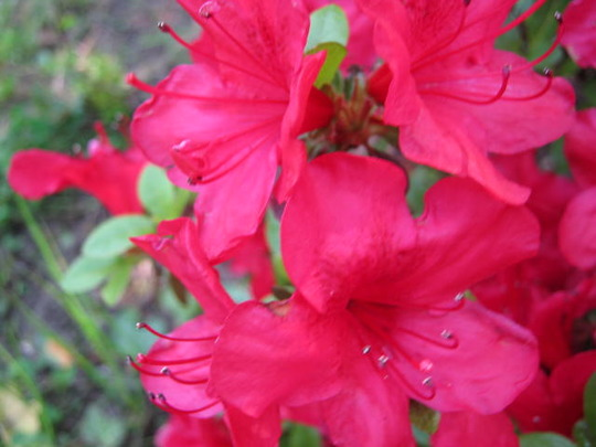 Shrub_flowers_002