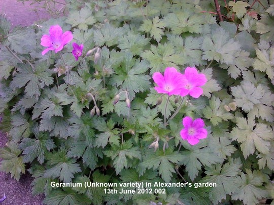 Geranium_unknown_variety_in_alexander_s_garden_13_06_2012_002.jpg