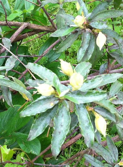 Rhododendron_maybe_6_6_12
