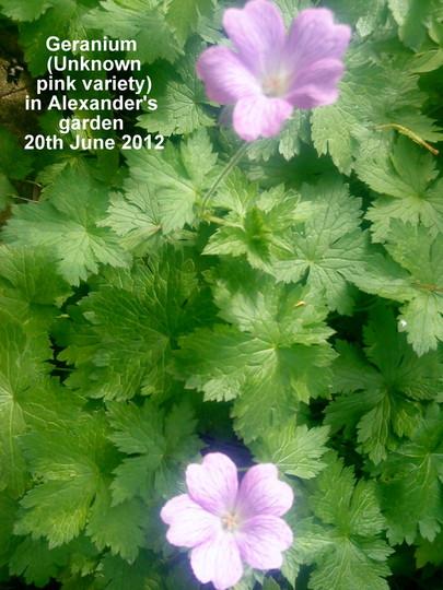Geranium_unknown_pink_variety_in_alexanders_garden_20_06_2012